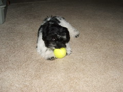 Gidget and the tennis ball