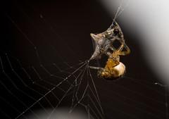 Spinning Her Prey ('SeraphimC) Tags: deleteme5 deleteme8 ny deleteme macro deleteme2 deleteme3 deleteme4 deleteme6 deleteme9 deleteme7 dinner canon bug insect spider fly trapped saveme deleteme10 web 100mm 5d pompey ensnared calebcoppola snowwhitein
