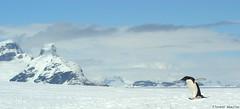 (Florent Abaziou) Tags: white snow black digital penguin nikon bigma sigma antarctica professional clean chicks iceberg d100 amateur dx hurtigruten 50500mm msfram