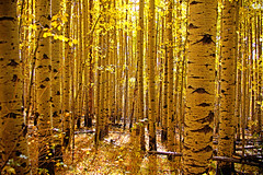 Sunlight through the Aspens (kotobuki711) Tags: autumn trees light sunlight fall grass leaves yellow forest colorado hike september foliage co aspen aspengrove kenoshapass