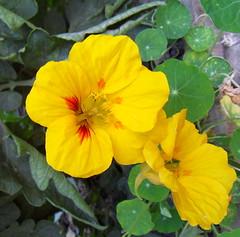 yellow (fotomie2009) Tags: flowers flower yellow flora fiori tropaeolum fiore majus tropaeolummajus cappuccina nasturzio tropeolummajus tropeolum tropeolo