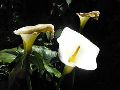 calas (alterna ) Tags: chile naturaleza flores sol foto patio natalia boba fotografia calas bellas 2010  caceres alterna alternativa superboba alternaboba