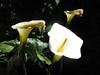 calas (alterna ►) Tags: chile naturaleza flores sol foto patio natalia boba fotografia calas bellas 2010 ♥ caceres alterna alternativa superboba alternaboba