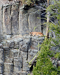Yellowstone Cougar (Dave Stiles) Tags: wildlife explore yellowstonenationalpark yellowstone cougar stiles yellowstonewildlife