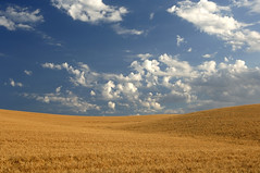 Wheat Field Under Blue Sky (randy_harris) Tags: blue summer sky fall nature field barley clouds rural sunrise bread landscape outdoors golden countryside scenery skies cloudy farm horizon country farming seasonal harvest meadows sunny ground scene farmland pasture crop land environment agriculture pastoral heavens idyllic