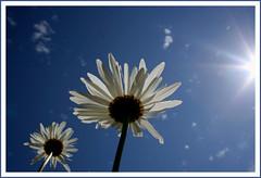 Sunshine on Daisies (~Dezz~) Tags: sky flower sunshine daisy sunburst shastadaisy flowerinthesky canoneos400d canondigitalrebelxti flickrchallengegroup flickrchallengewinner