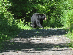 Black Bear (magarell) Tags: bear nj blackbear morriscounty wildcatridgewma