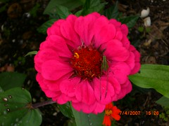 Unnoticed green (aNNi_boNiTa) Tags: pink flower flor grasshopper rancho grillo tamps