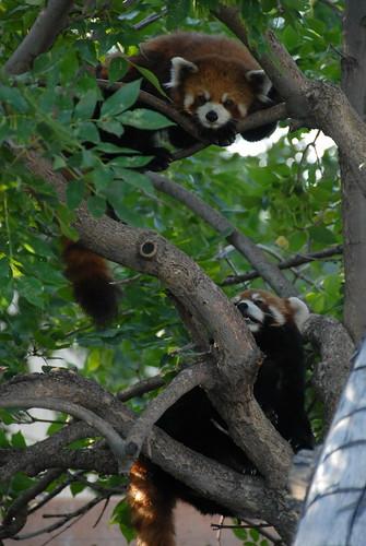 Chinese Red Pandas