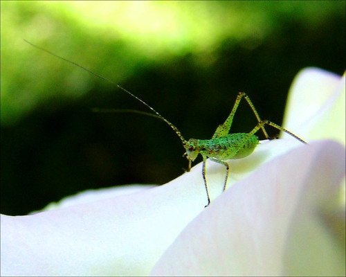 Little Green Rose Buggy (Aphid)