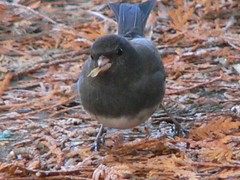 Dark-eyed Junco by Birdfreak.com