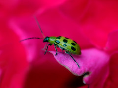 beetle on rose (Wes's Way) Tags: pink red macro green rose closeup bug way insect bravo beetle iowa coolest wess bighug naturesfinest macroflower colorphotoaward wowiekazowie diamondclassphotographer flickrdiamond ishflickr flickrelite canon60mm28macro coolestphotographers buzznbugz macromarvels wessway spectacularmacro