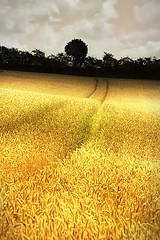 when the grain is golden (Sabinche) Tags: nature germany bavaria interestingness bravo searchthebest quality grain explore rhön sabinche rhoen interestingness6 magicdonkey abigfave ultimateshot explore16082007