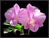 Dendrobium 'Burana Stripe'