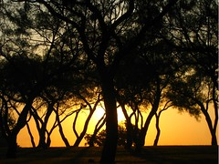 Mesquite Tree Grove Sunrise Silouette - by neatonjr