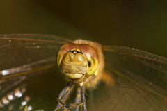 "Common Darter Dragonfly (Sympetrum s(63) • <a style=""font-size:0.8em;"" href=""http://www.flickr.com/photos/57024565@N00/1386118993/"" target=""_blank"">View on Flickr</a>"