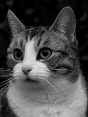 IMGP0009 (nypan_sthlm) Tags: katt svartvitt