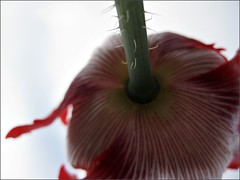Danish Flag Poppy, from below