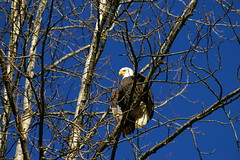 "FRS Eagle along the Stave River • <a style=""font-size:0.8em;"" href=""http://www.flickr.com/photos/51193137@N08/4722560826/"" target=""_blank"">View on Flickr</a>"