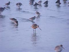 jli ca (dmathew1) Tags: beach nature clouds sunrise stpetersburg dawn tampabay florida shorebirds crescentlake oldnortheast