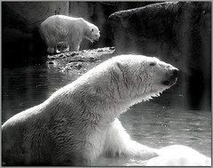Polar Bears (FurBabyLuv *Finally back Online) Tags: