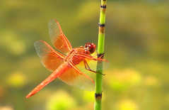 dragonfly: flame skimmer (laurielabar) Tags: orange green yellow garden bravo sandiego dragonfly horsetail cuyamaca outstandingshot diamondclassphotographer flickrdiamond flickrphotoaward colorfulworldyellowandorange