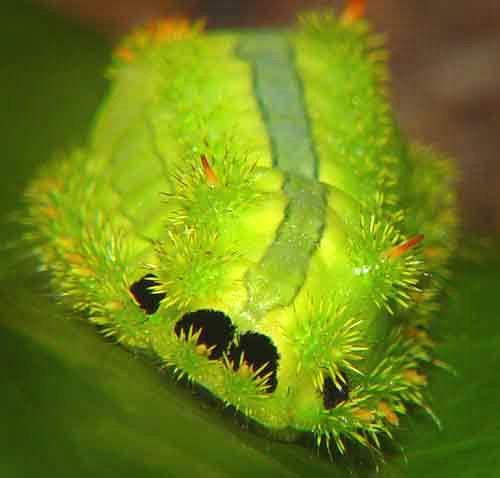 619959732 10aa622475 Photogenic Caterpillars and Other Fascinating Insects of the Thai Forest