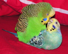 Summer & Ken (sonja71) Tags: budgies featherfriday