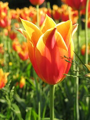 SexySEO tulips (SexySEO) Tags: flowers tulips sexyseo sexyseoflowers