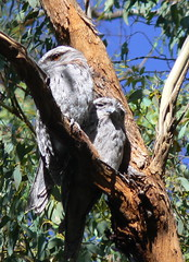Completely wild pair of Tawny Frogmouths (ianmichaelthomas) Tags: friends birds australiannativebirds tawnyfrogmouths wildlifeofaustralia animalcraze worldofanimals poundbendwarrandyte warrandytevictoriaaustralia flickrlovers vosplusbellesphotos flickrsbestcreatures