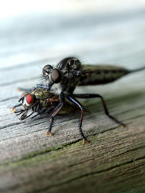 Robber Fly (Efferia aestuans)