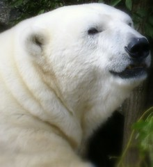 Edinburgh Zoo Polar Bear (The Mucker) Tags: bear zoo mercedes scotland edinburgh polar
