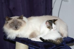 Najim and Kaylee together (Mandy Verburg) Tags: pet animal female cat kat feline pussy kitty ek predator huisdier dier pussycat poes kater himalayan tomcat kaylee birman birmaan najim roofdier katachtige cyper heiligebirmaan thebiggestgroup cc100 mandyarjan bestofcats ultimateshot thebiggestgroupwithonlycats