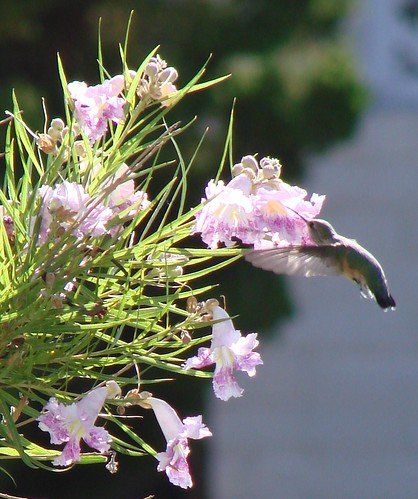 "hummingbird in desert willow flowers 2 • <a style=""font-size:0.8em;"" href=""http://www.flickr.com/photos/10528393@N00/908803851/"" target=""_blank"">View on Flickr</a>"