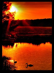 two swans at sunset (Steel Steve) Tags: sunset swans piratetreasure supershot 50faves abigfave anawesomeshot aplusphoto goldenphotographer superhearts platinumheartaward piratetreasure2 thegoldenmermaid piratetreasure3 piratetreasure4 piratetreasure5