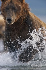 Kodiak bear hunting at Hallo Bay (echeng) Tags: bear alaska unitedstates wildlife hunting grizzly mammals kodiak topside ursos echeng arctos ericcheng middendorffi katmaicoast grizzlybearursosarctos kodiakgrizzlybearursosarctosmiddendorfi yellowtag132