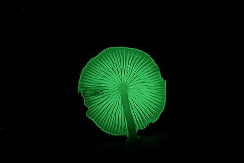 發光小菇傘下菌摺--20060820-賴鵬智攝