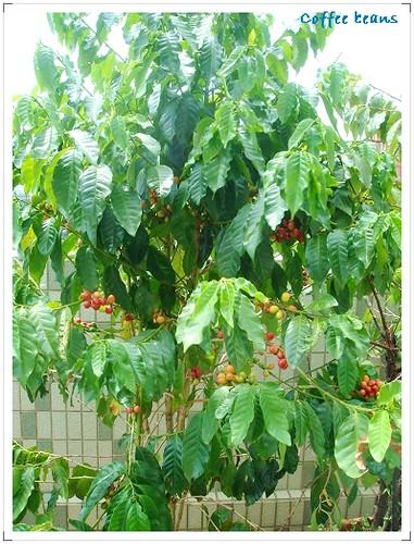 我家空中花園咖啡樹 (4)