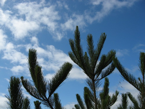 Pines and the sky