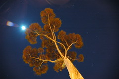 gum tree crepuscle (badjonni) Tags: tree night gum timeexposure getty perpsective