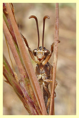 Creoleon lugdunensis (PheCrew) Tags: macro insect bugs insetti faccia phe soken myrmeleontidae formicaleone neurottero creoleonlugdunensis