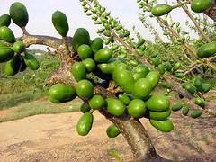 FPM642 Ciriguela (Fernando Picarelli Martins) Tags: frutas fruit américacentral seriguela jocote ciriguela jamaicaplum jobillo anacardiáceas spondiaspurpurea purplemombin redmombin ciruelacolorada hobocolorado mombinrouge