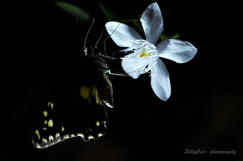 達摩鳳蝶-21062010