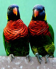 lris arco-iris (Victor Oliveira) Tags: animalkingdomelite