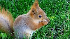 """Yummy yummy."" (Utelias) Tags: summer cute animals suomi finland squirrel orava kes elimet sp"
