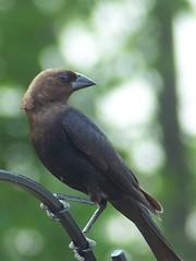 Brown Headed Cowbird (Purr!!!) Tags: brown headed cowbird