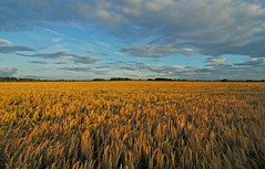 Wheat field blowing in the wind (jimmedia) Tags: park trees light sunset shadow summer sky sun tree history reed field grass clouds barn marina fence corn wind farm country blowing birkenhead fields historical environment mersey stables wirral merseyside irby flickrunitedaward