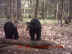 Black bears in love