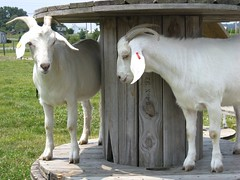 goats at Delaware State University