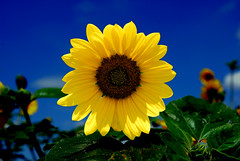 Sun Flower (crowt59) Tags: sun flower naturesfinest getrdun crowt59